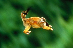 Squirrel_Monkeys3